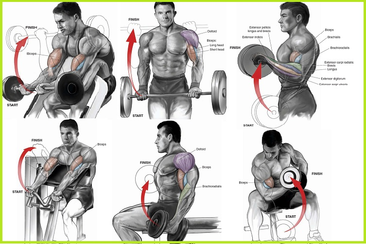 Bicep anatomy bodybuilding 4303939 - follow4more.info