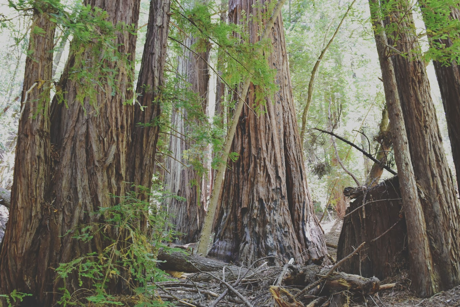 redwoods in the Russian River Valley, California