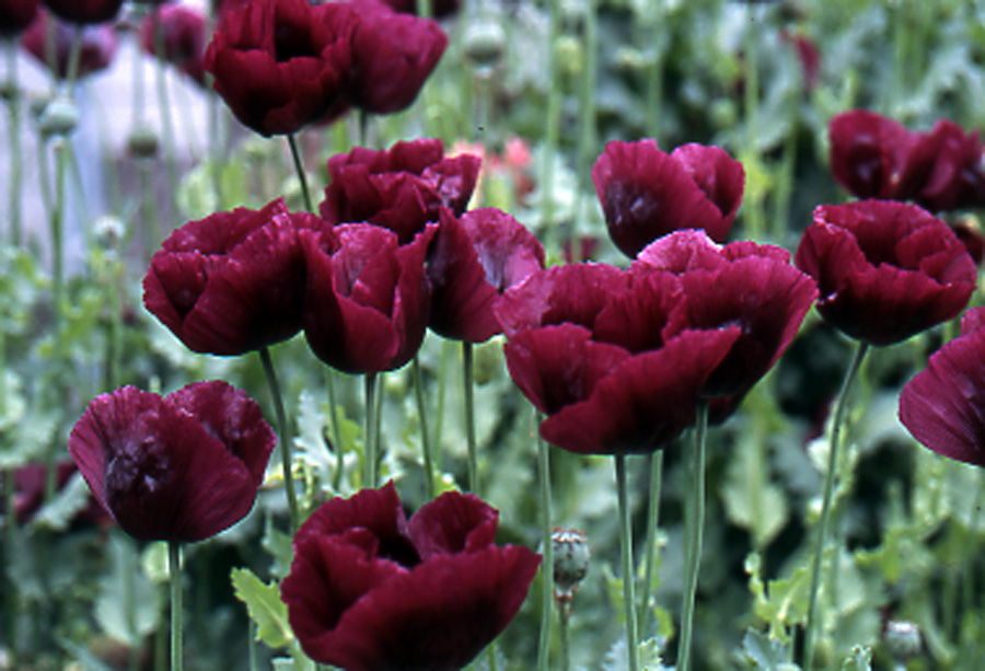 b d lilies garden blog purple poppies shipping seed soon