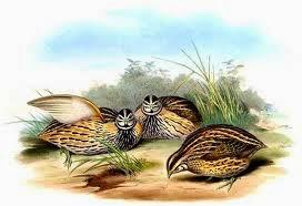 Codorniz coromandélica: Coturnix coromandelica