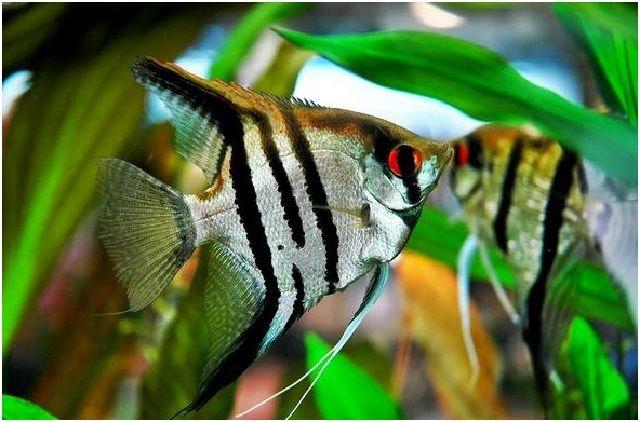 Gambar Ikan Hias Cantik – Ikan Munfish