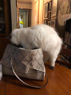 Image: seal-point ragdoll kitten stepping into a handbag.
