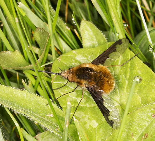 Beefly, Bombylius major.  Churchyard of the Church of St. Mary,  Kemsing, 12 April 2014.
