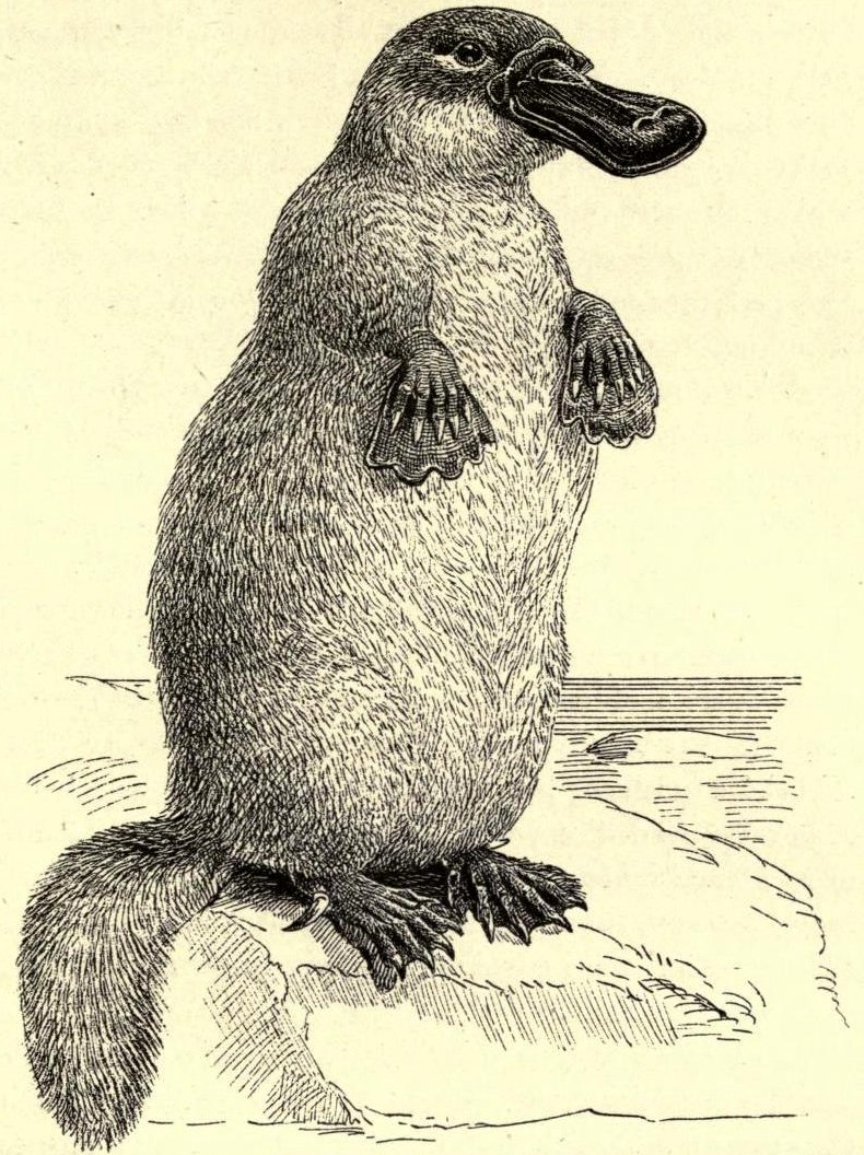 ShukerNature: A COUPLE OF CRYPTO-PLATYPUSES FROM NORTH AMERICA