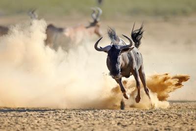 Wildebeest (Rusa Kutub) - 80,5 km/jam