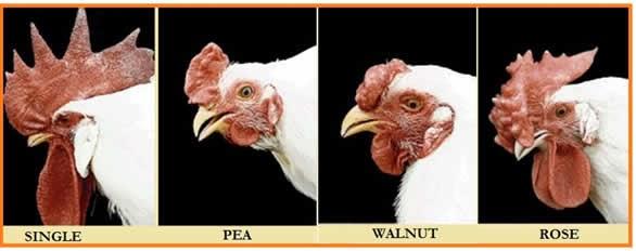 tipe pial ayam