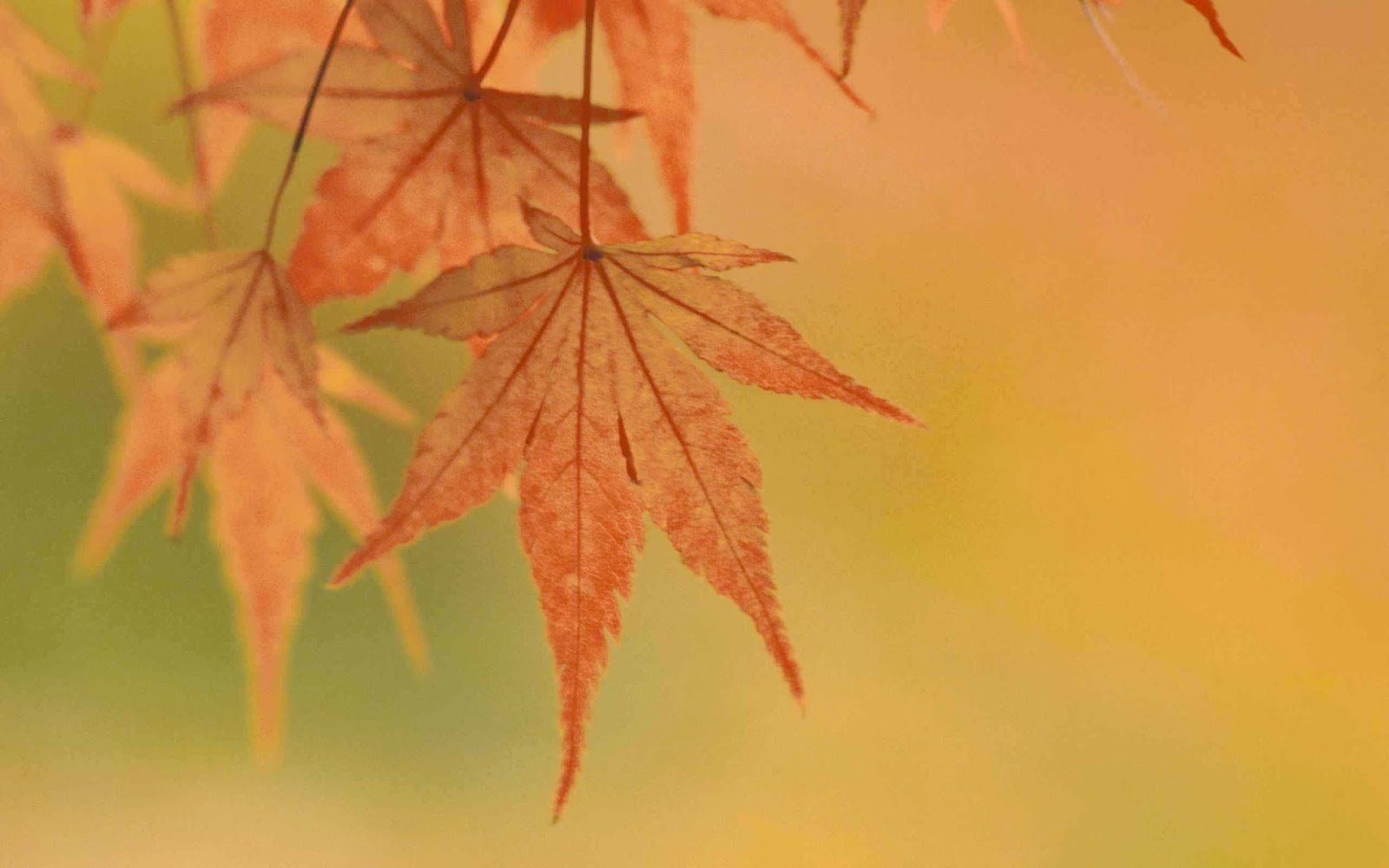 Maple Leaf Wallpapers
