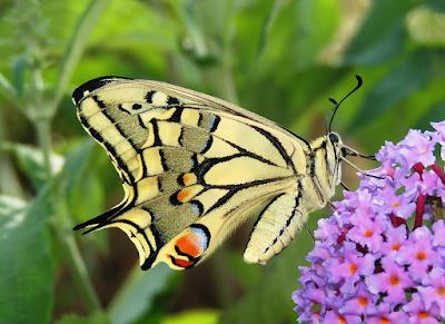 Papilio machaon sobre Buddleja davidii, reverso