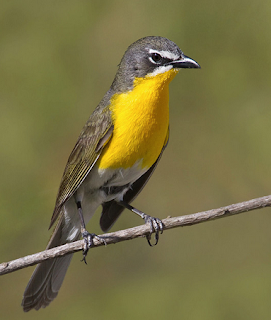yellow-breasted chat mp3 song