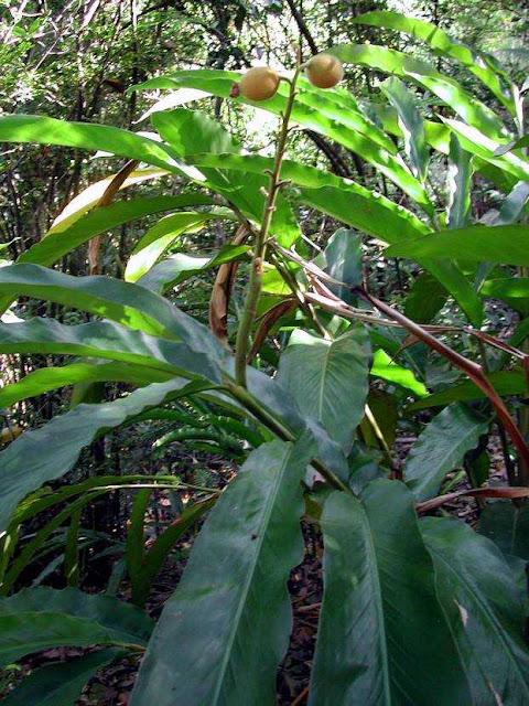 Cây và quả Thảo đậu khấu - Alpnia katsumadai - Nguyên liệu làm thuốc Chữa Bệnh Tiêu Hóa