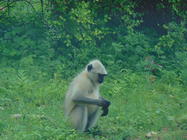 sariska wild
