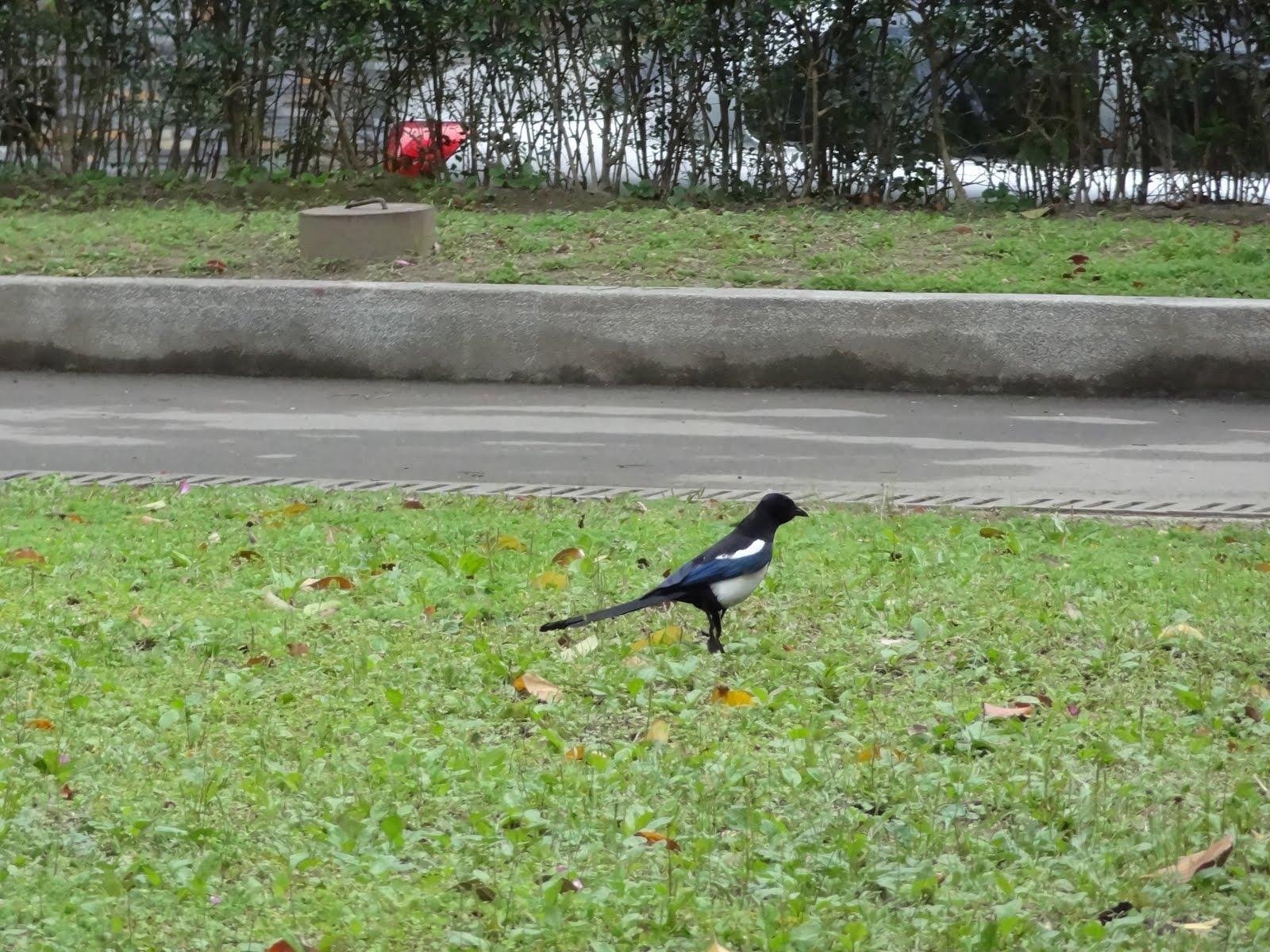 Blooooooooog-X: 明水公園的喜鵲