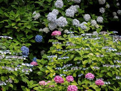 Ajisai (Hydrangea macrophylla) flowers: Chojyu-ji