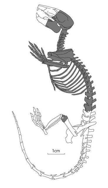 Fossilized mammal skeleton from the dinosaur era found in central Japan
