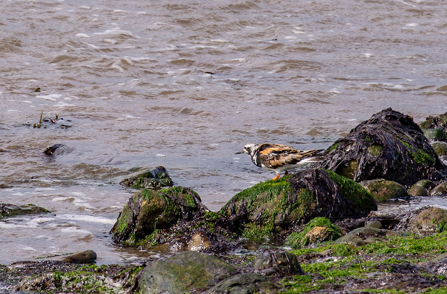 Photo of a turnstone on the beach at Maryport