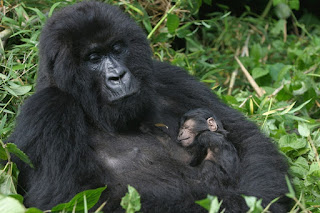 GORILLA HABITUATION EXPERIENCE IN RUSHAGA SECTOR OF BWINDI NATIONAL PARK