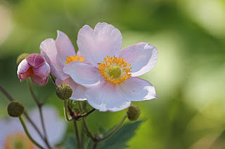 anemone flower meaning