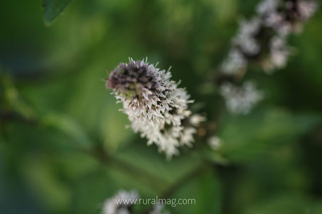Mauve mint blossoms in the herb garden www.ruralmag.com