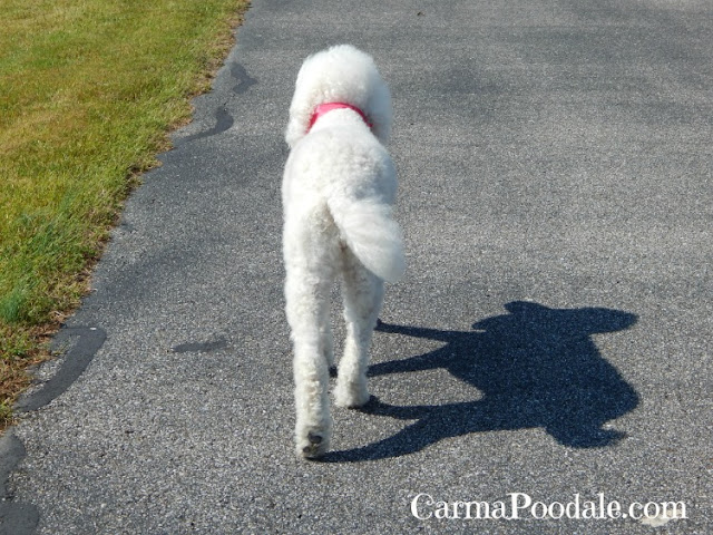 standard poodle walking ahead.