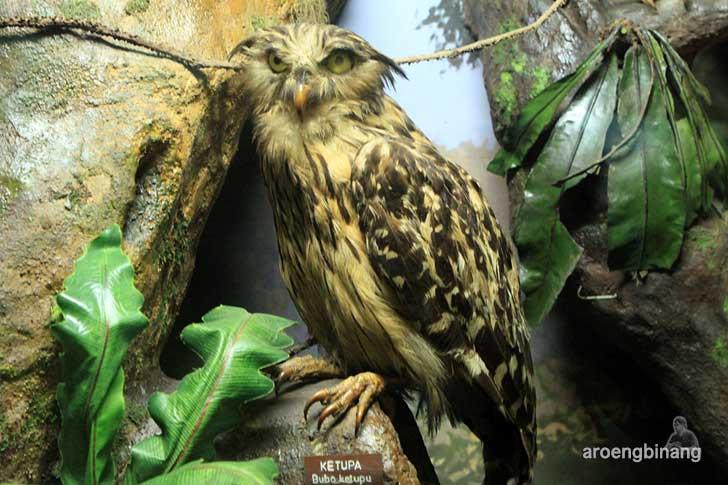 ketupa museum zoologi bogor