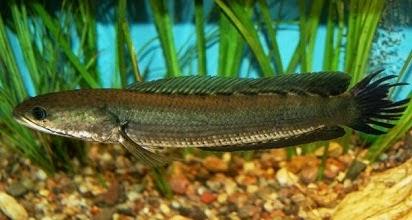 Umpan Jitu Mancing Ikan Haruan Ikan Gabus  Umpan Jitu