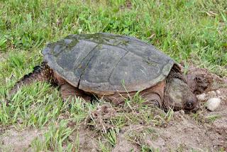 Klasifikasi Chordata dan contoh-contoh Spesiesnya
