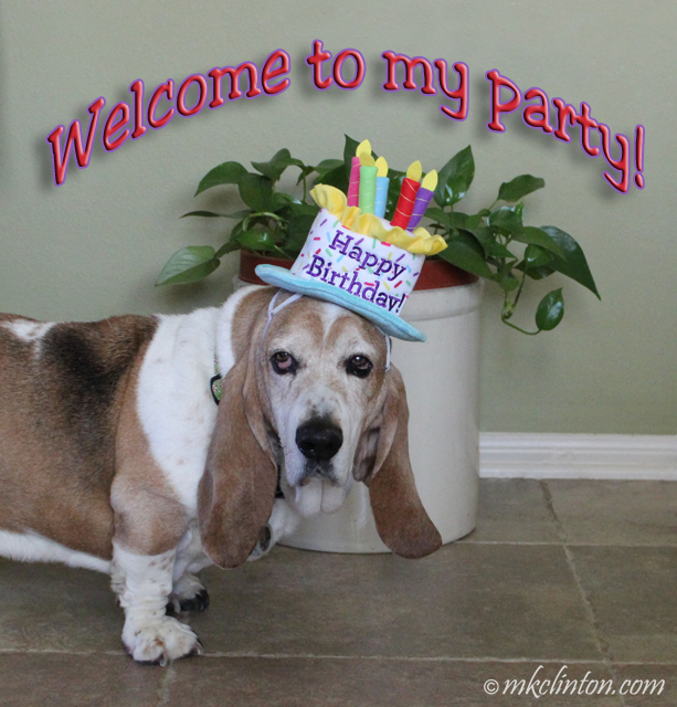 Basset wearing birthday cake hat
