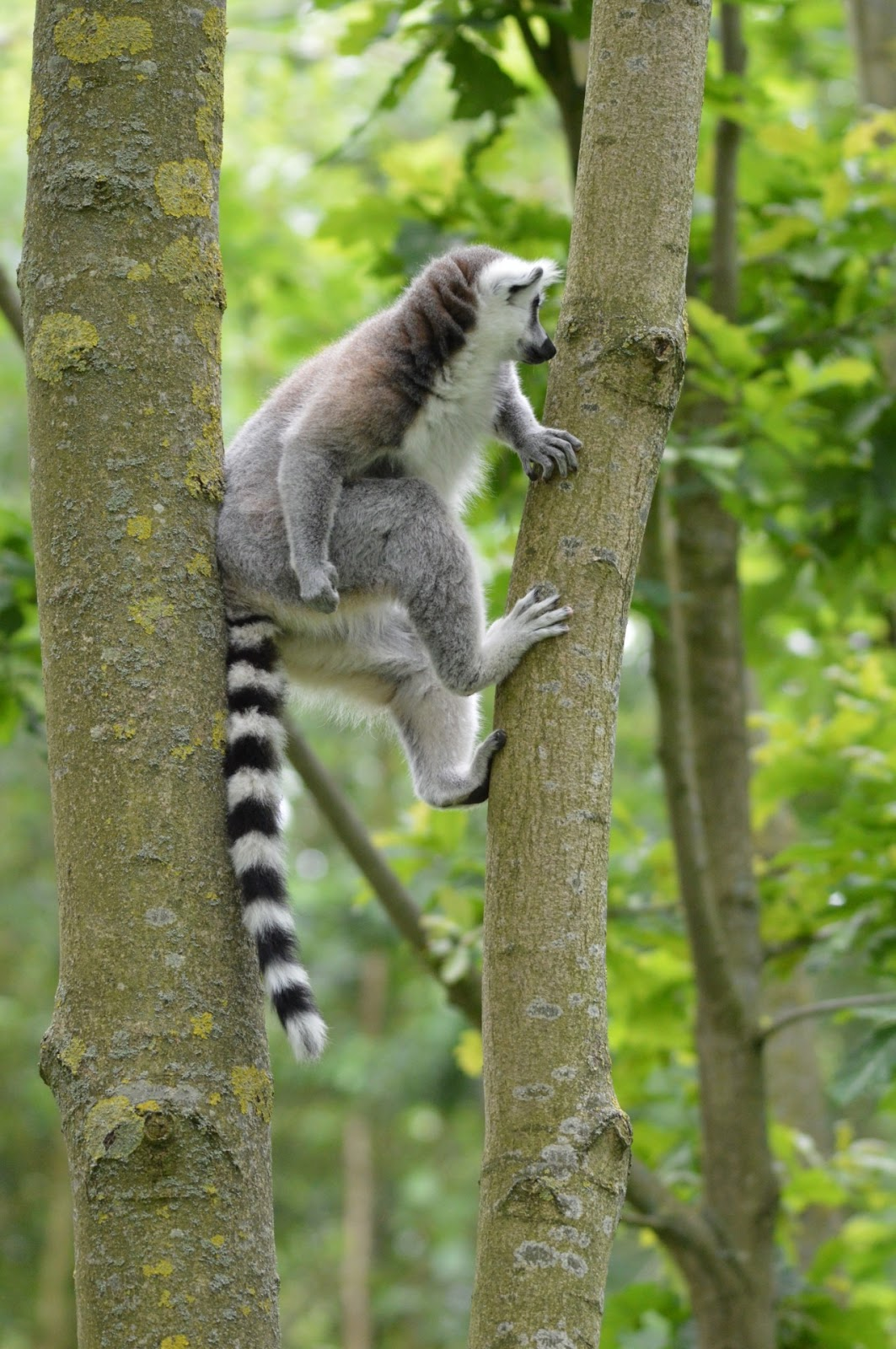 Picture of a lemur climbing a tree.