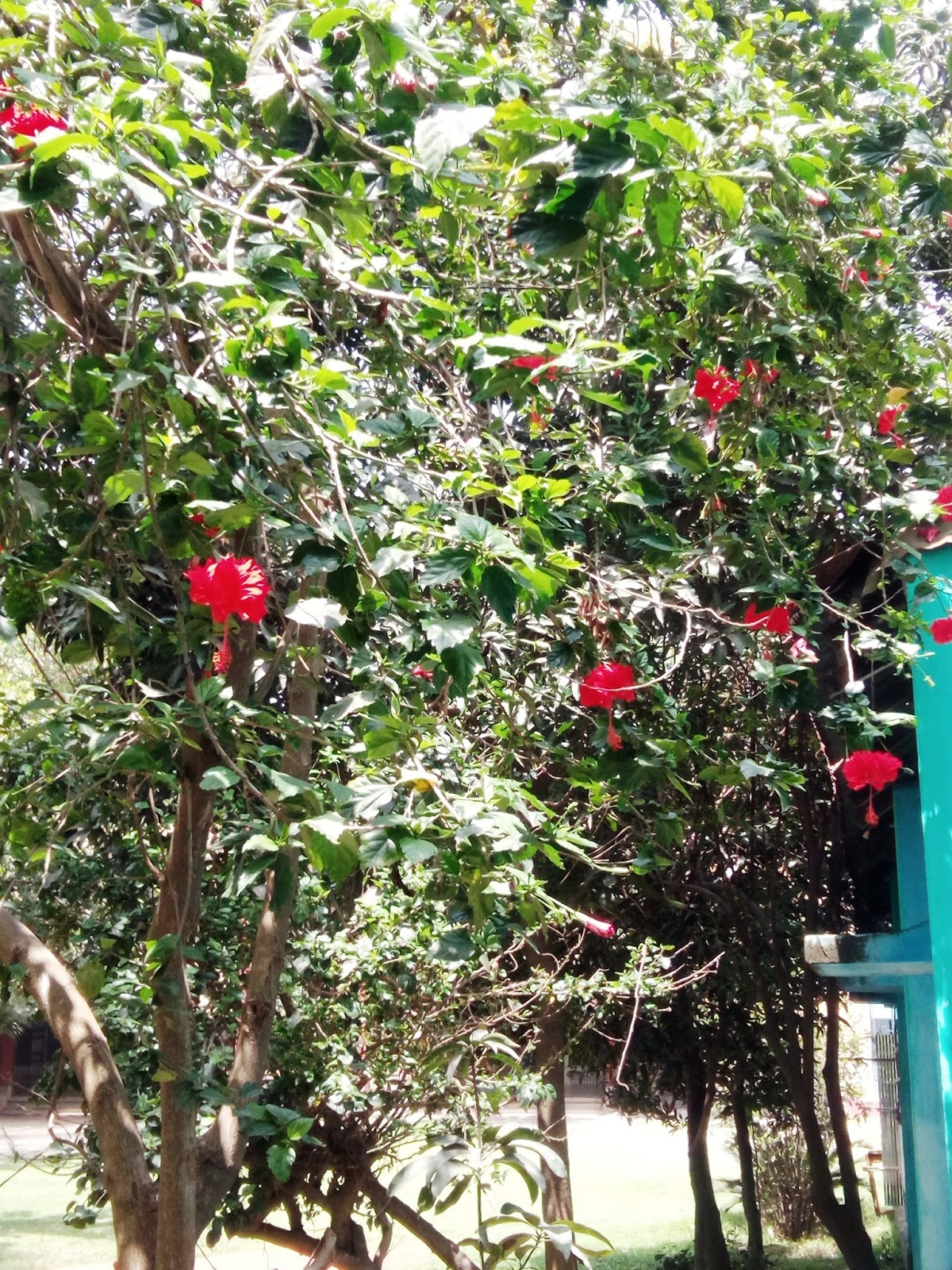 Grass Root News Jobahibiscus A Kind Of Ornamental Plant Having