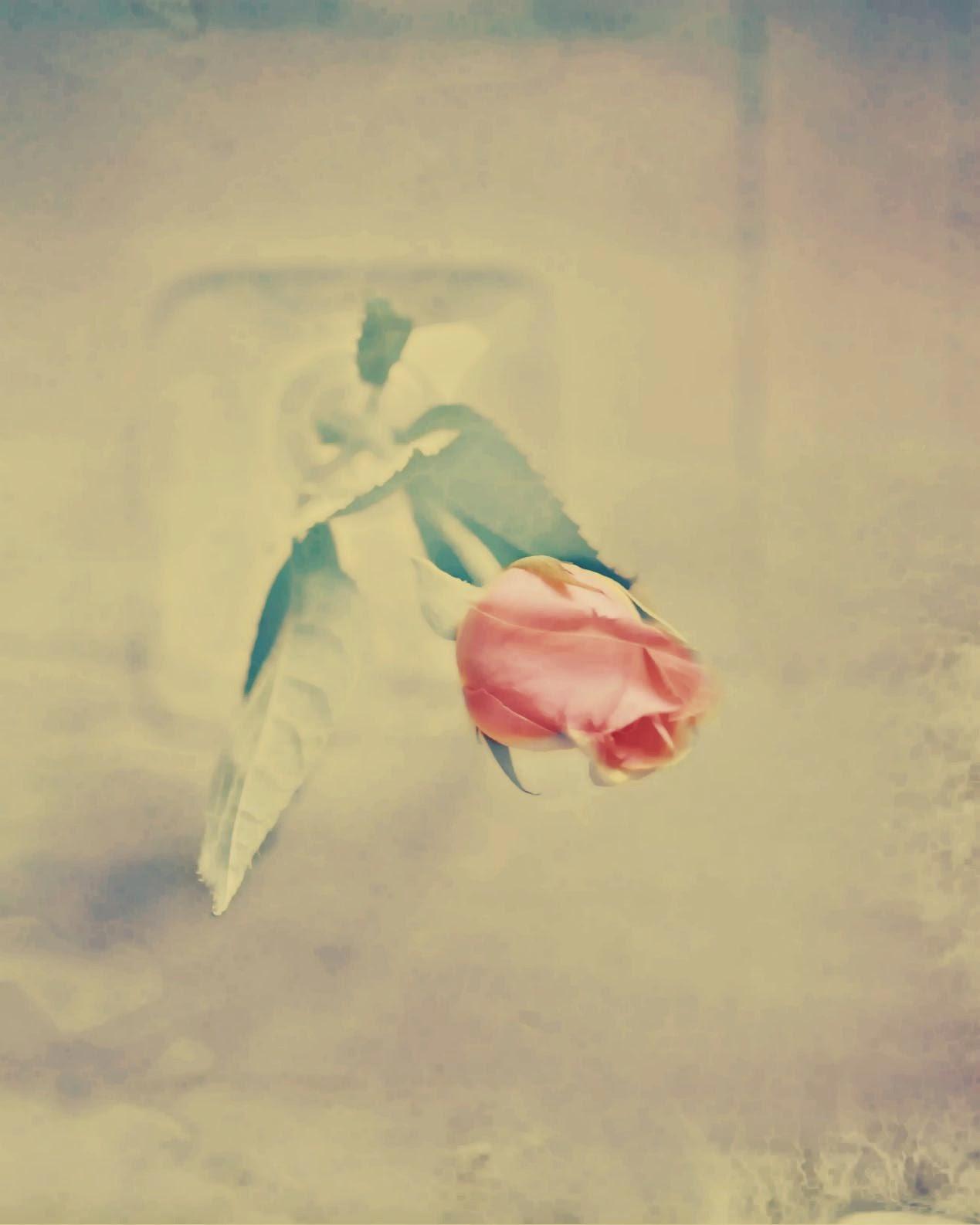 vintage baby pink rose