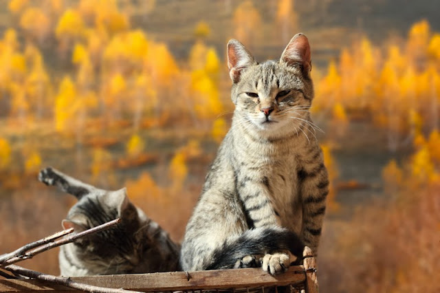 Two cats with bright yellow Fall trees behind