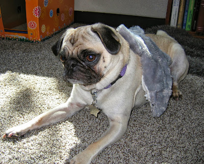 Liam the pug with a shark toy