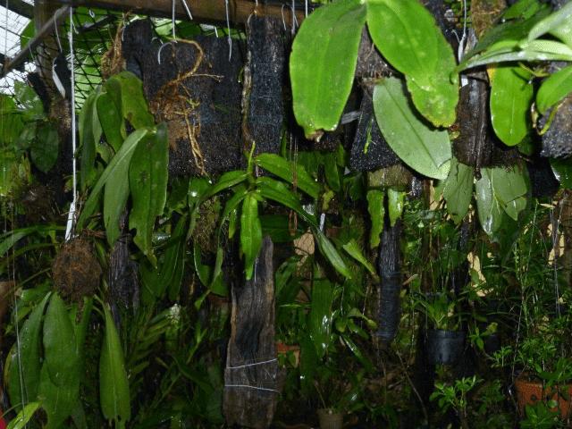 Orkid Hutan