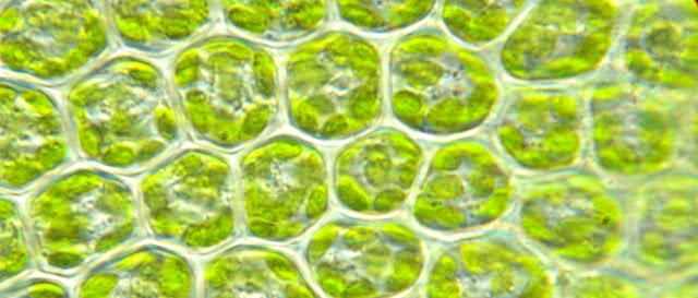 Cloroplastos e imagenes de biologia
