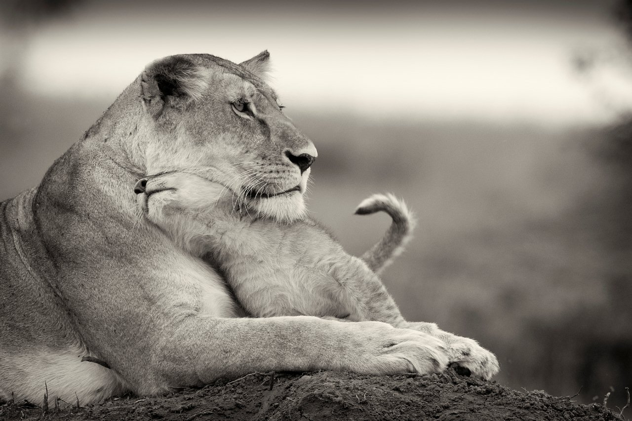Black And White Lioness Pictures to Pin on Pinterest ...