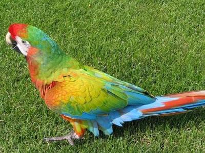 Shamrock hybrid Macaw