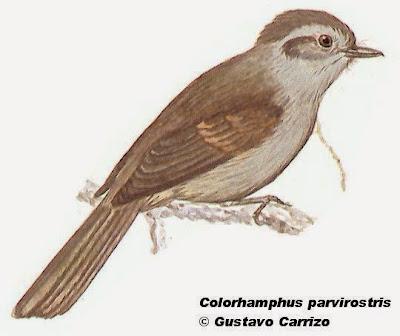 Peutrén, Coloramphus parvirostris