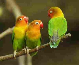 Penyebab Lovebird Mencabuti bulunya sendiri dan cara mengatasinya
