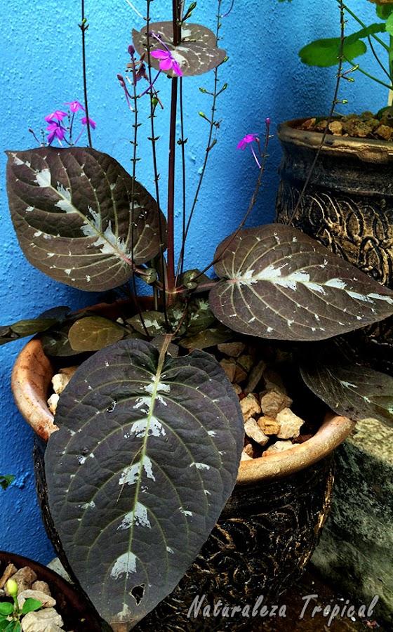 La Planta de Chocolate en maceta, Pseuderanthemum alatum