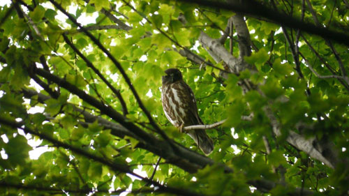 Brown Hawk Owl, Nagoya