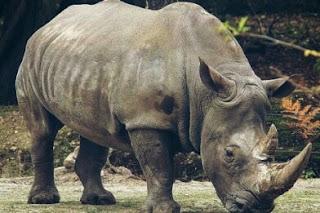 Badak Sumatera Hewan Langka Di Indonesia dan Penjelasannya