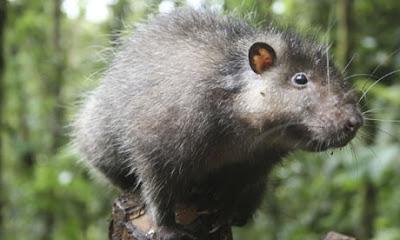 Bosavi wooly Rat