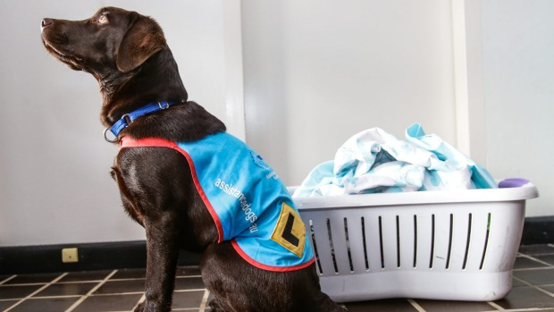 Labrador Retriever Puppy trained to assist with emptying a washing machine
