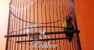 Racikan Pakan Lovebird Agar Ngekek Panjang Di Jamin Ampuh