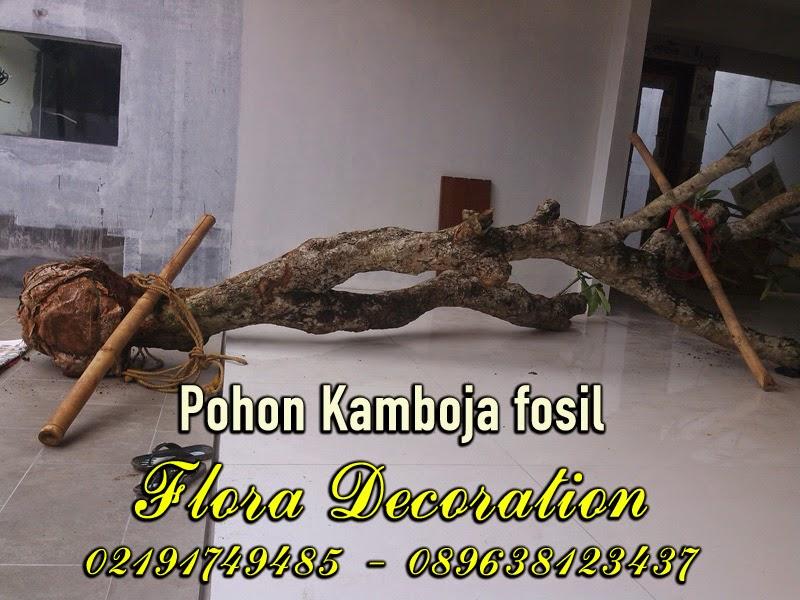 Harga jual pohon kamboja fosil batang besar