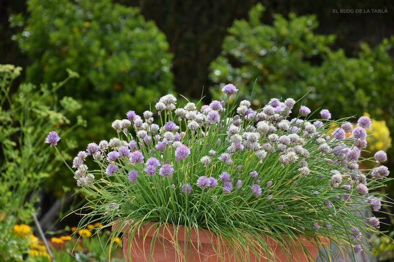 cebollino (allium schoenoprasum) en el jardín