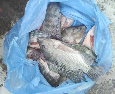 Resep Umpan Mancing Ikan Nila