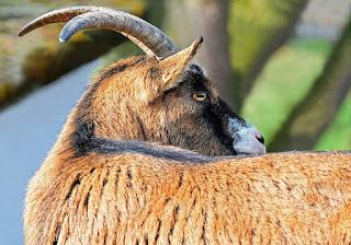 goat-bock-horned-livestock-1388962/