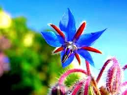 Plantas Aromáticas borraja
