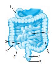Penjelasan materi ipa tentang Bagian Dan Fungsi Usus Halus Pada Sistem Pencernaan